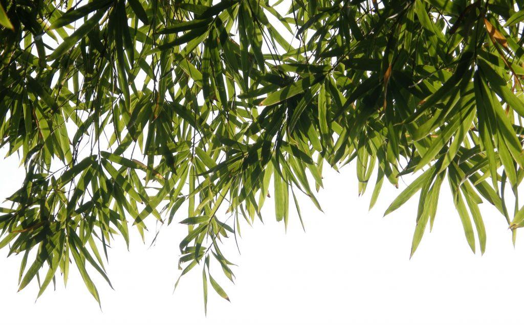 bambus symbol szczęścia