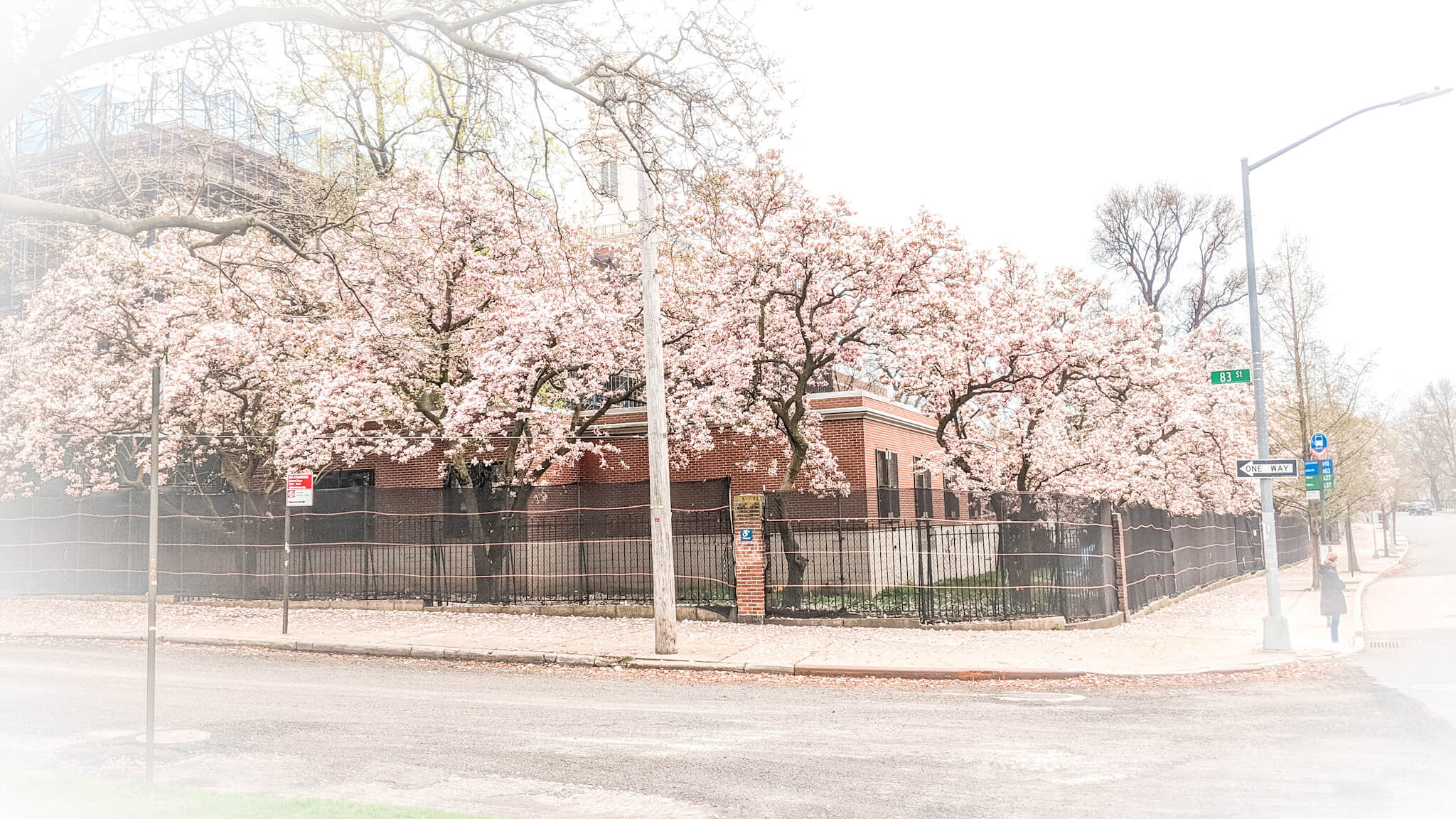kwitnące magnolie w Bay Ridge