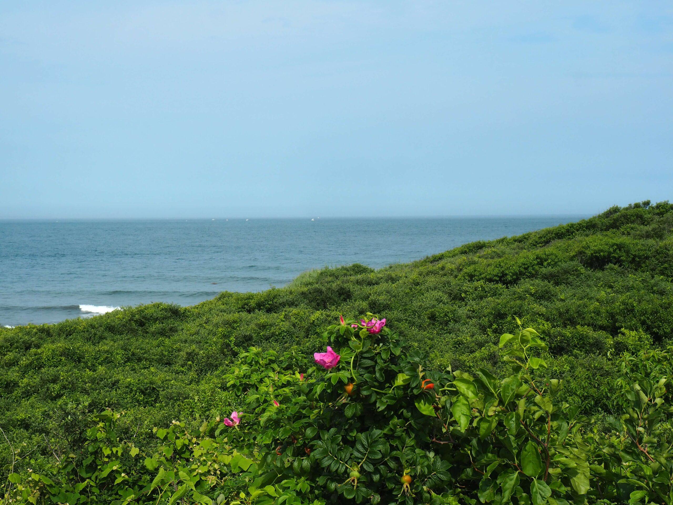 Bujna roślinność - dzikie róże i inne malownicze zielska na tle oceanu w Montauk.